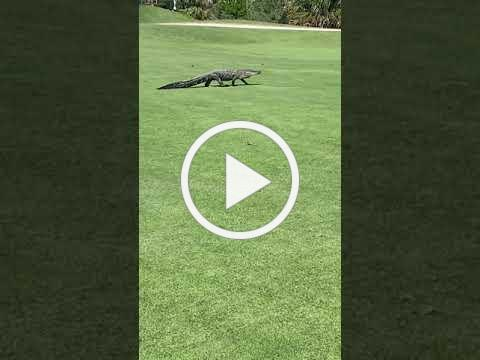 Gator on 18 in Ft Myers, FL