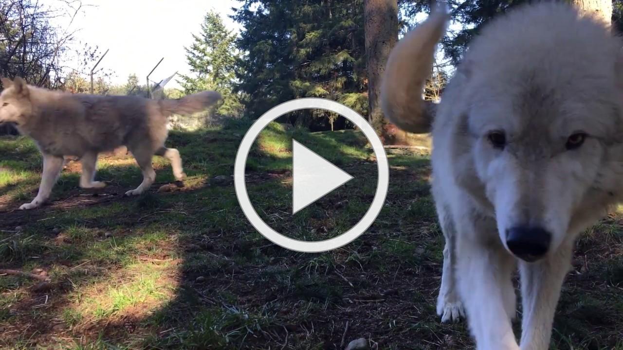 Lakota sniffs camera