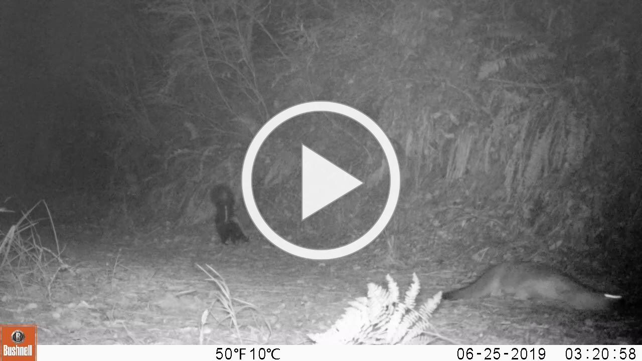 Fox wants to play with skunk