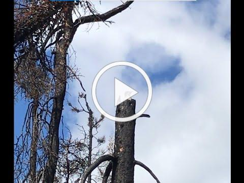 SPOTTED: A Black-backed Woodpecker