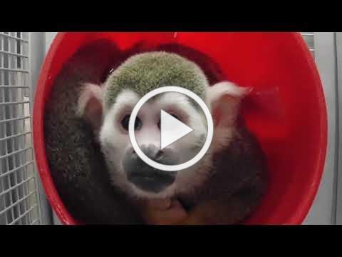 Squirrel monkey arrival + 2 week update!