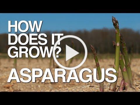 ASPARAGUS | How Does it Grow?