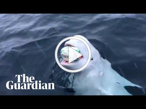 Beluga whale filmed playing 'fetch' with Rugby World Cup ball