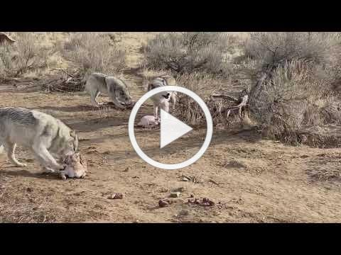 McCleery wolves and turkeys