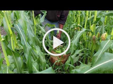 Early Morning Corn Picking