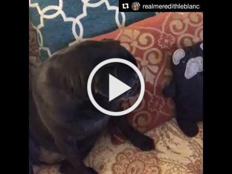 Scarlet loves her Pug Bummlie Pearl