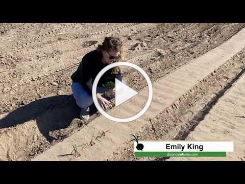 How to Plant Onion Transplants - Single Row
