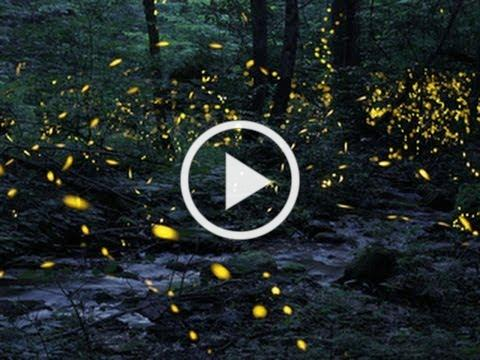 Tennessee fireflies: A summertime light show