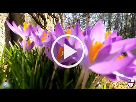 Easter 2021 organ postlude with dramatic crocus flower timelapse