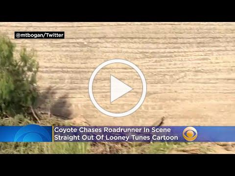 Coyote Chases Roadrunner In Scene Straight Out Of Looney Tunes Cartoon