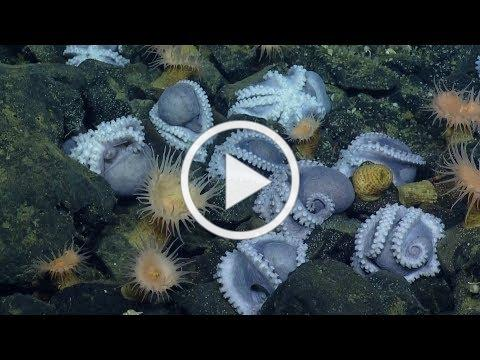 Massive Aggregations of Octopus Brooding Near Shimmering Seeps | Nautilus Live