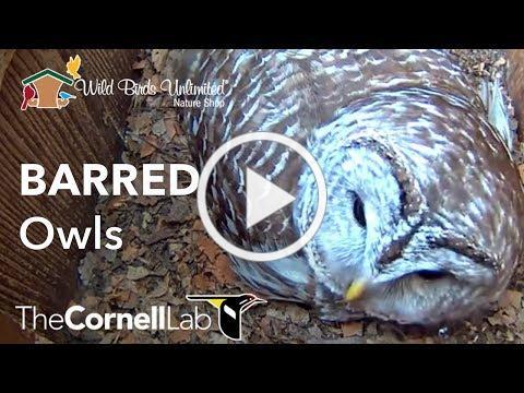 Cornell Lab | Wild Birds Unlimited Barred Owl Cam