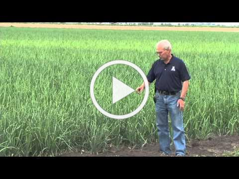 Onion Furrow Irrigation