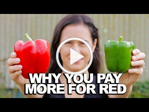 BELL PEPPER | How Does it Grow?