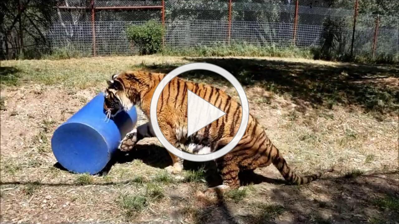 Tiger Mungar's New Therapeutic Toy