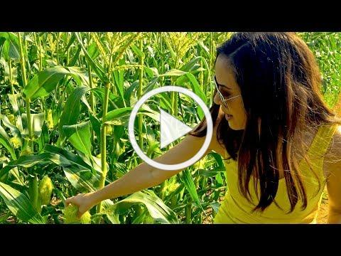 Fields of Gold: How Sweet Corn Pollination REALLY Works