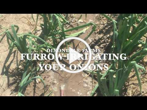 Furrow Irrigating Your Onions