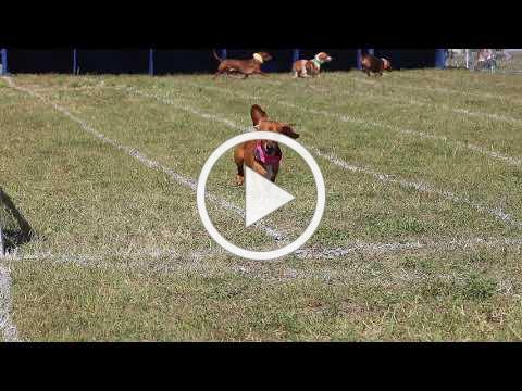 Buda Lions Club Wiener Dog Races 2019