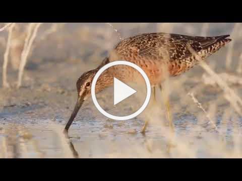 Shorebird Shuffle