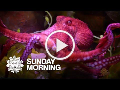 Untangling the mysteries of the octopus