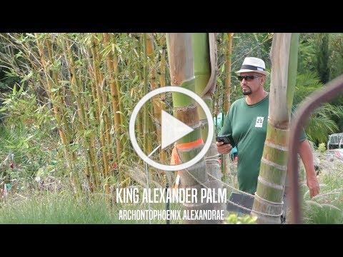King Alexander Palms in Jacksonville