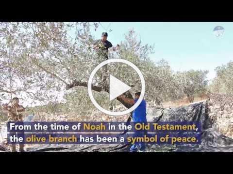 Olive Harvest season