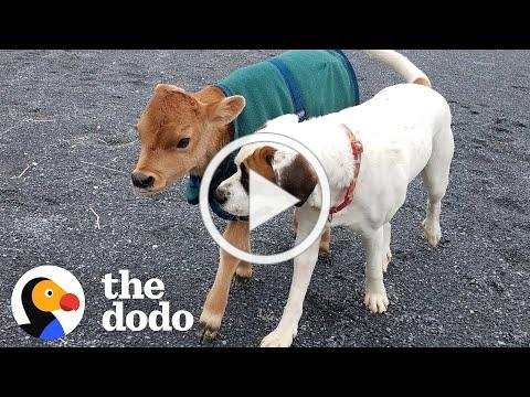Rescued Baby Cow Starts Wrestling With A Dog Just His Size   The Dodo Little But Fierce