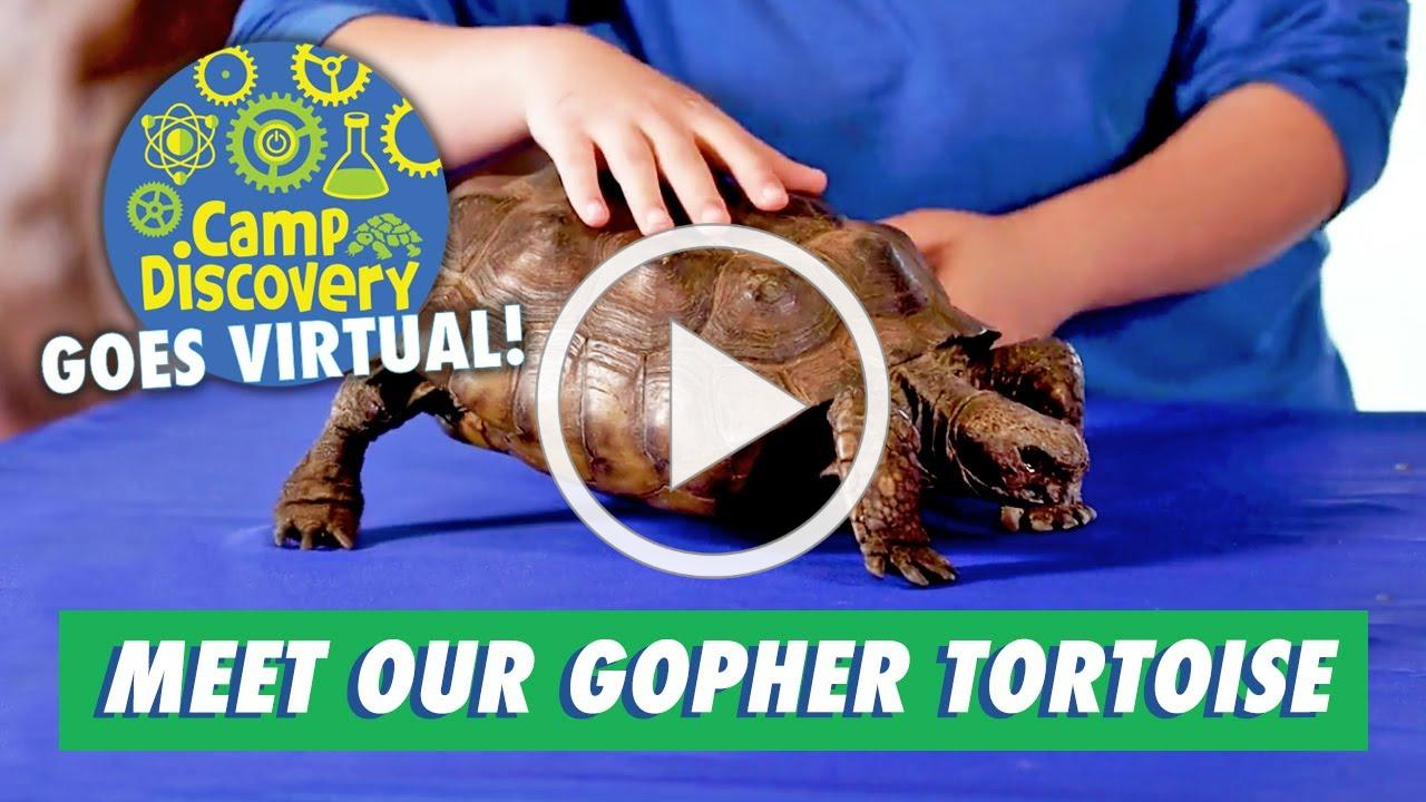 Meet our Resident Gopher Tortoise
