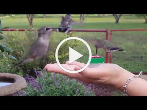 Watch me feed hummingbirds with Nectar Dots