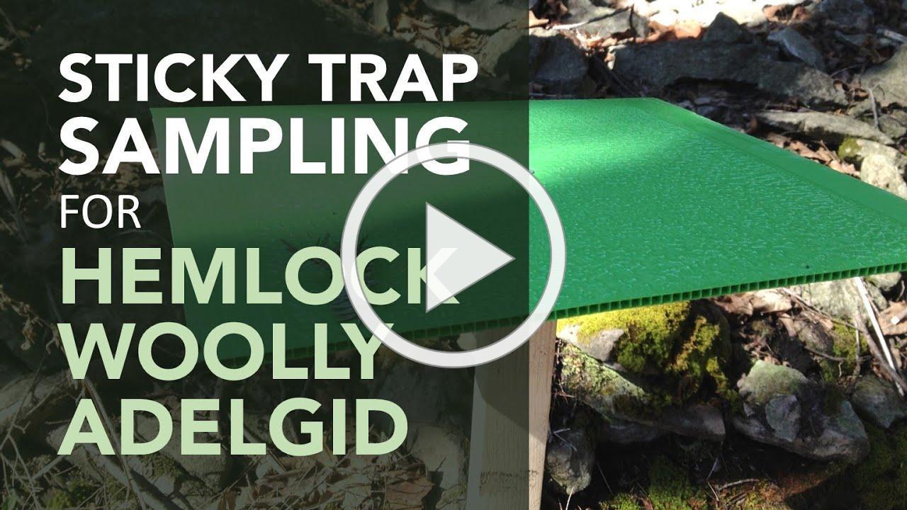 HOW TO: Sticky Trap Sampling for Hemlock Woolly Adelgid