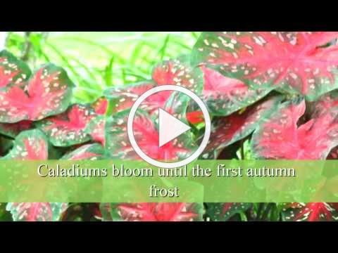 How to Plant Caladium Bulbs