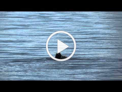 Common Loon Bathing on Massabesic Lake, NH