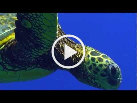 Sea Turtle Migration Video