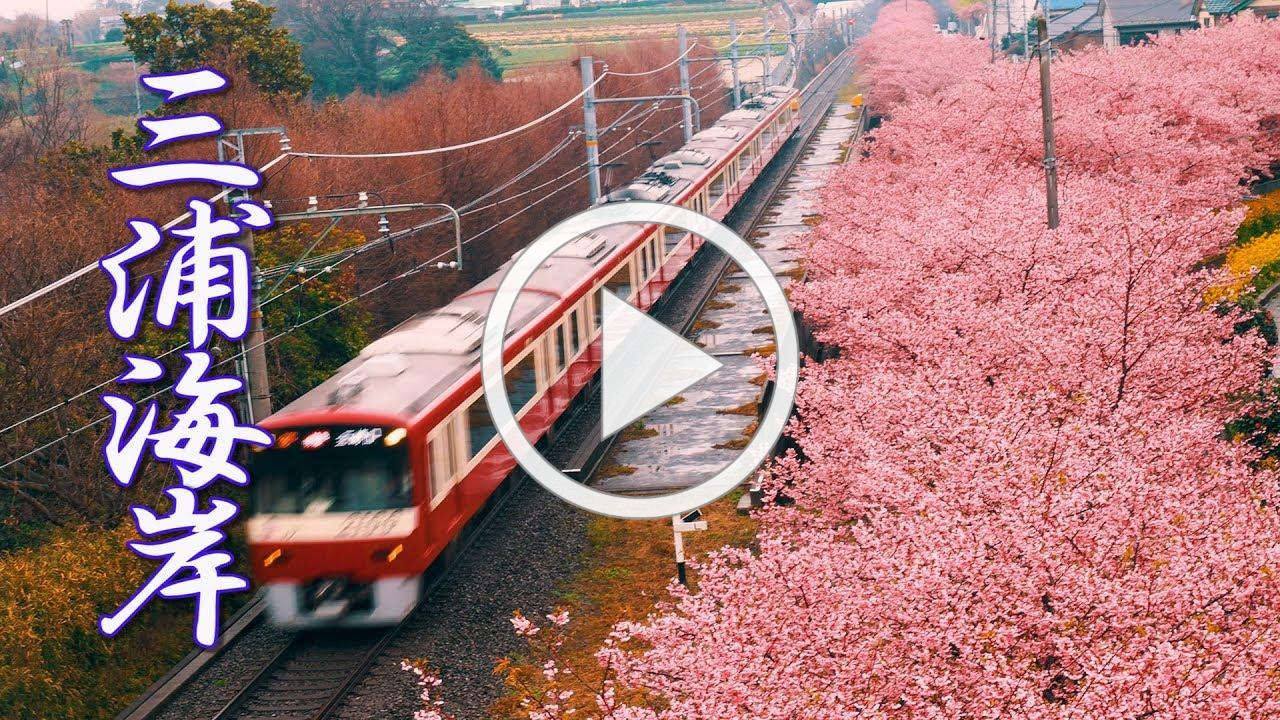 【Cherry blossoms】Miura Kaigan sakura Festival 2019 in the rain #4K #三浦海岸 #京急
