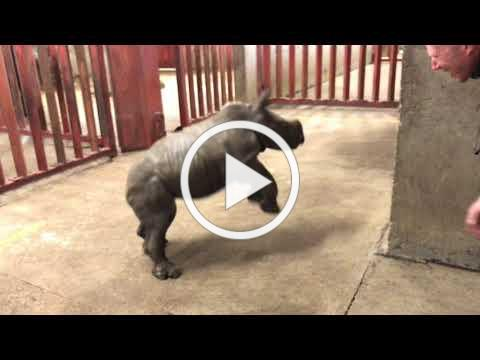 Rhino calf plays with zoo keeper