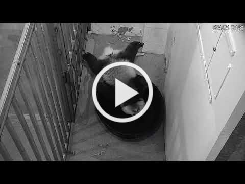 #PandaStory: Tub Time for Xiao Qi Ji