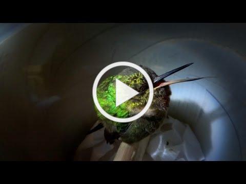 Snoring hummingbird - Super Cute Animals - BBC