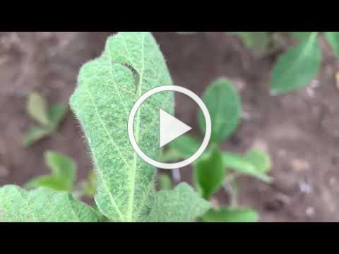 Spider mites on soybeans 2020