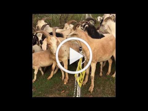 Goats on Memorial Park!