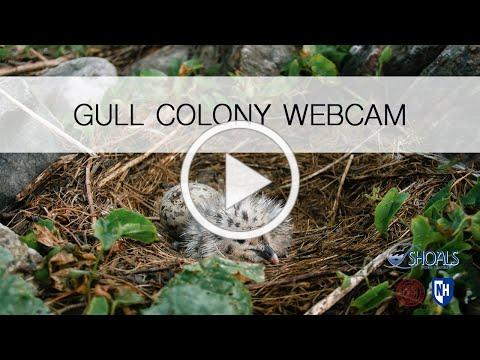 GULL COLONY LIVE WEBCAM