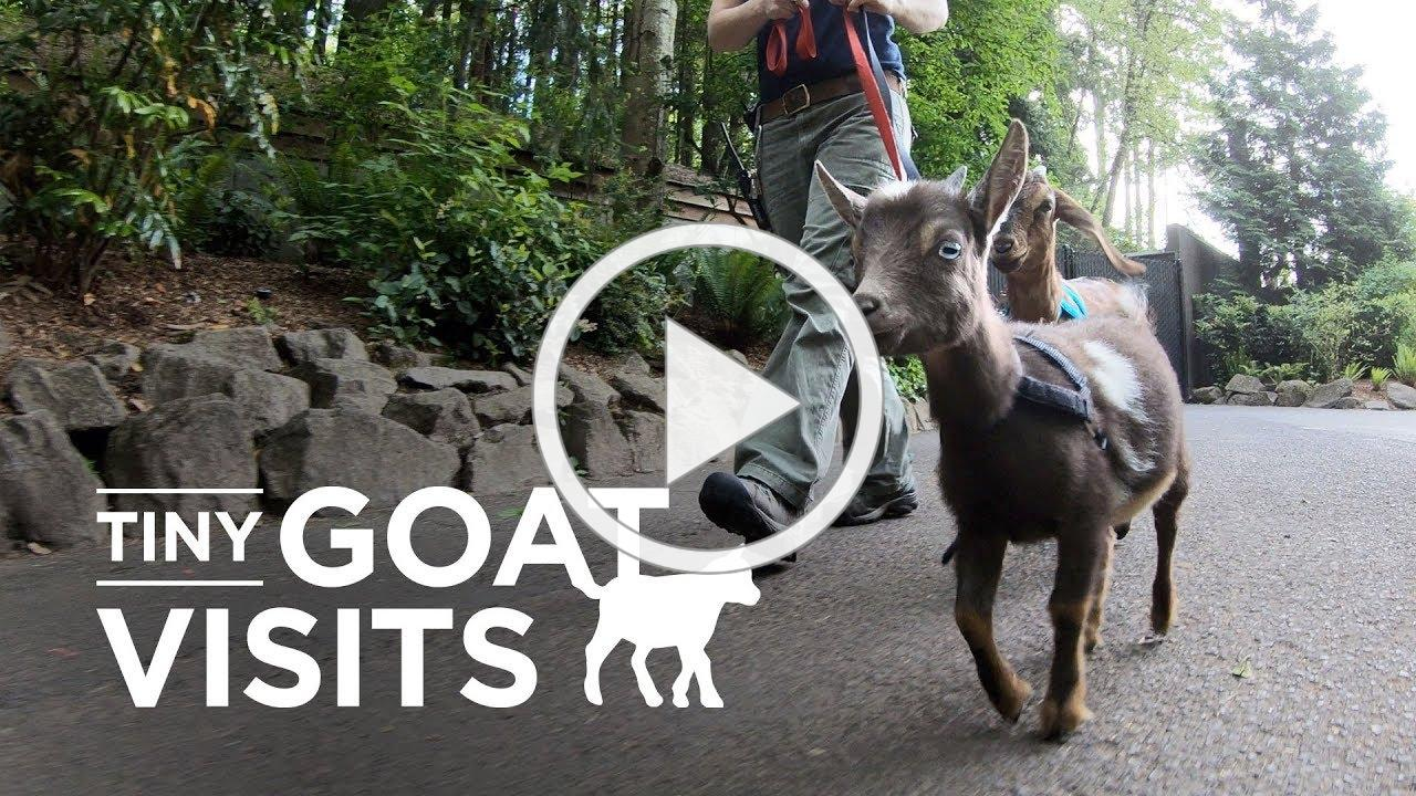 Welcome to Tiny Goat Visits