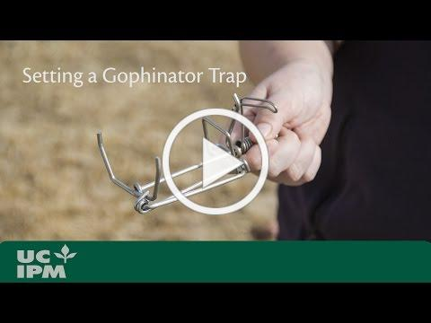 Setting a Gophinator Trap