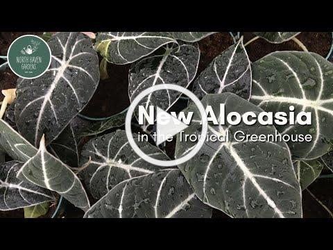New Alocasia in the Tropical Greenhouse