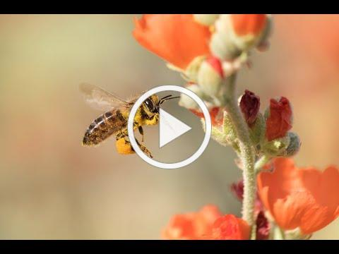 Virtual Victory Garden Workshop No. 1: What's The Buzz About Bees?