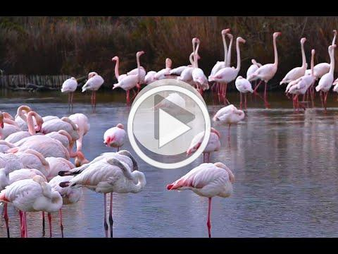 The Pink Flamingos (Les Flamants Roses) of Southern France with Artist, Caroline Zimmermann