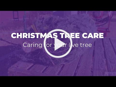 Caring for Your Live Holiday Tree | KSRE