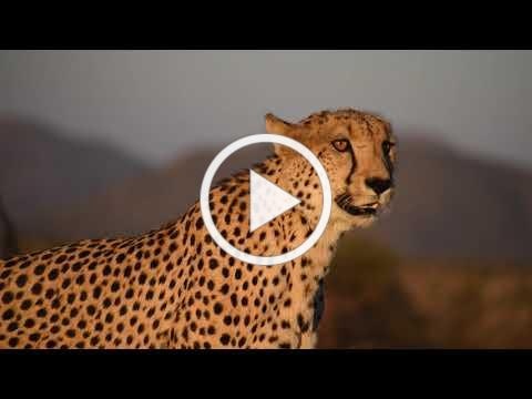 Life of a Ranger: Cheetah calling
