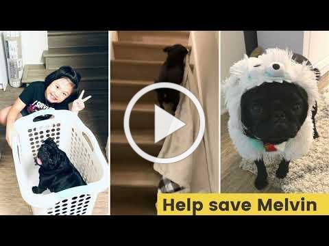 Melvin the Pug