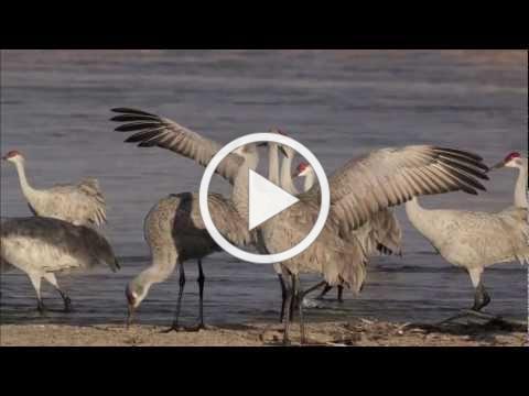 Nebraska's Great Sandhill Crane Migration
