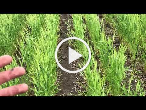Planting Corn Between Wheat Rows